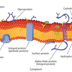 Cell Membrane Diagram Worksheet Dsc 1555 Wiring Phospholipid Bilayer | Biology Pinterest