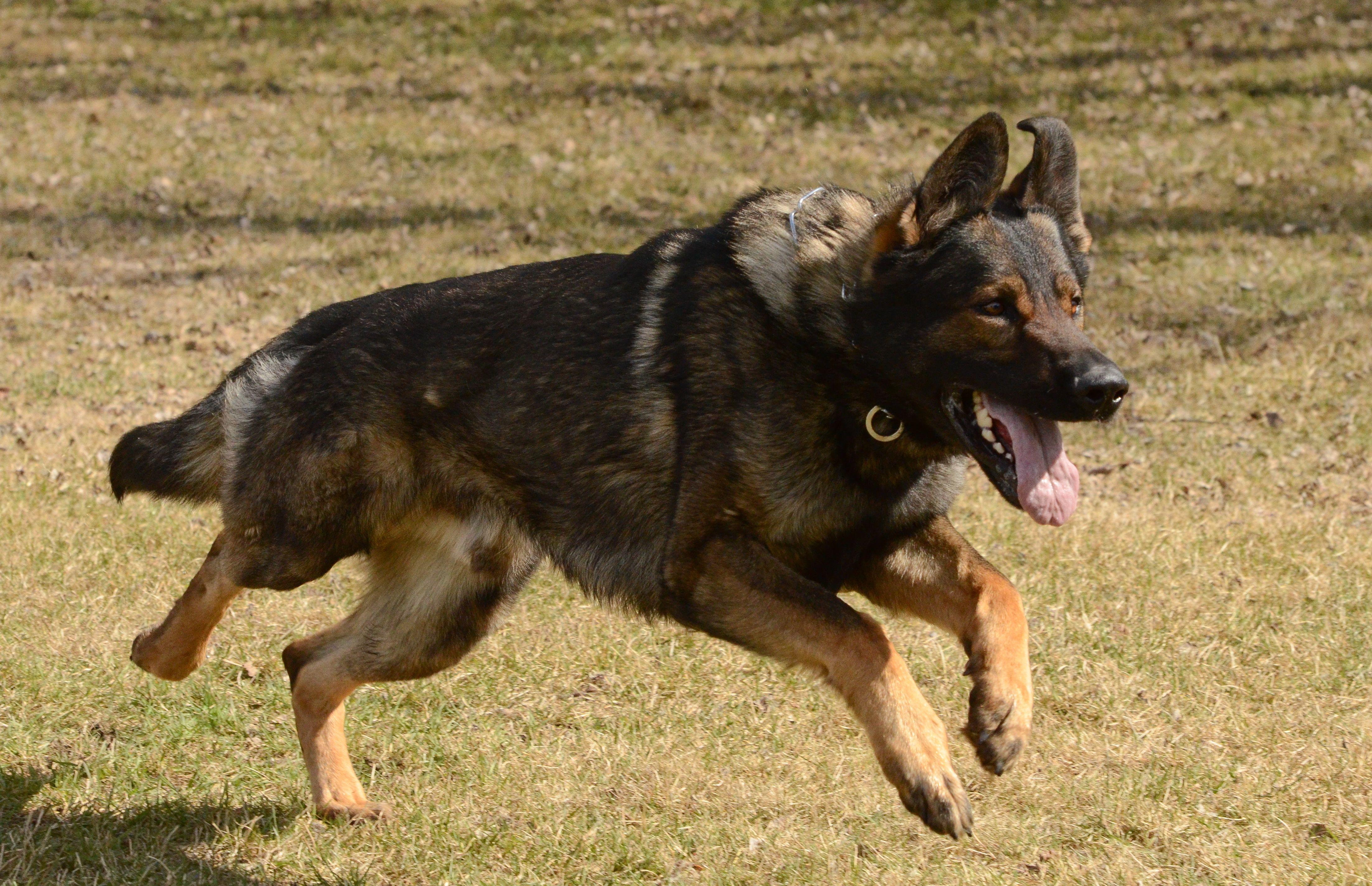 Schutzhund, GSD goggies Pinterest