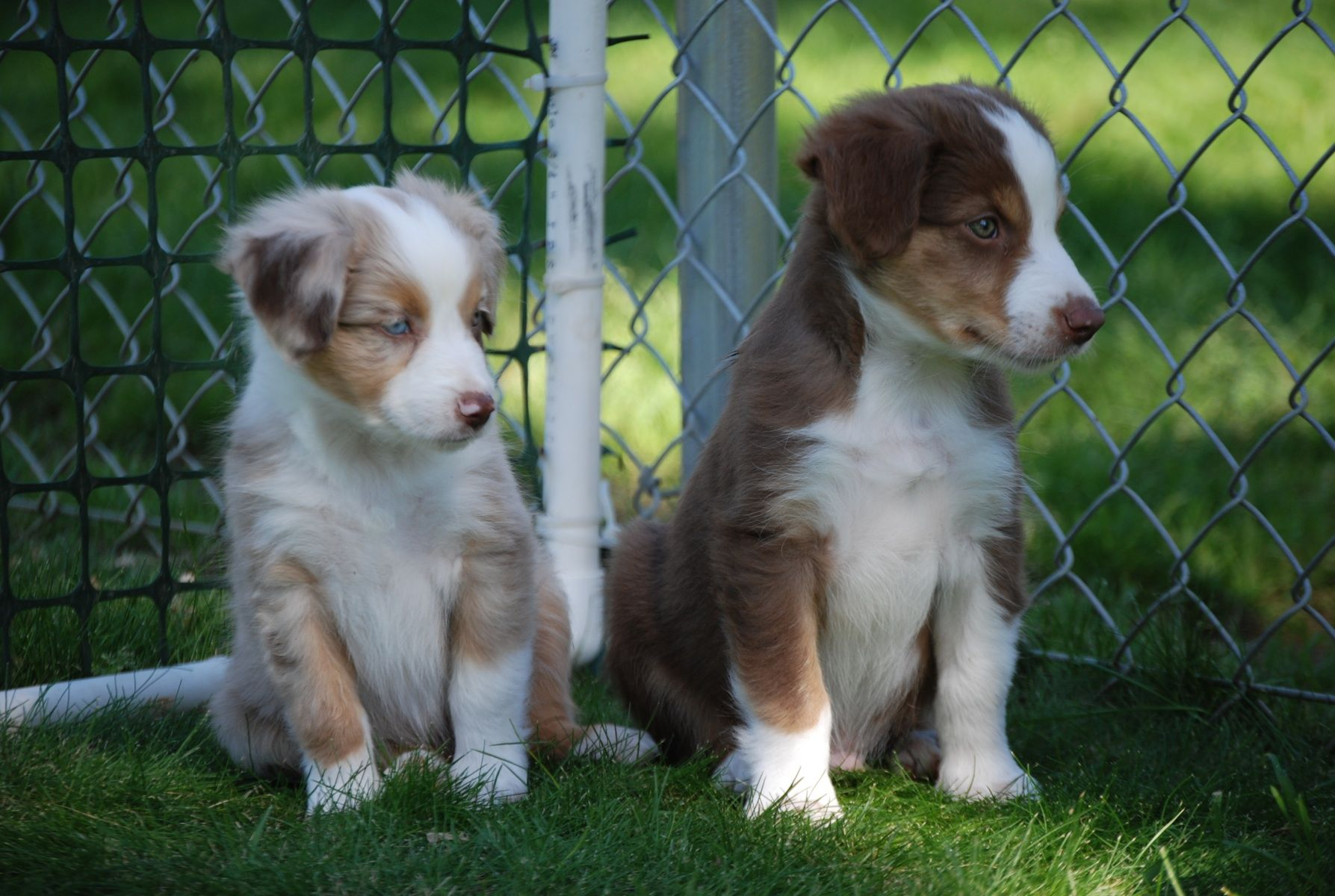 miniature australian shepherd...WANT ONE for Skyler