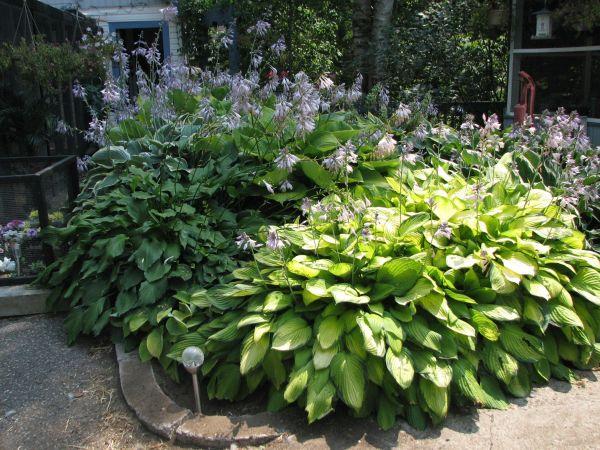 hosta garden and landscaping