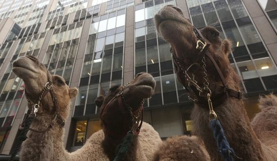 A Closely Guarded Secret: When the Camels Go for a Walk on the streets of New York.