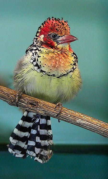 Red and Yellow Barbet - Pinterest via Lara Probert
