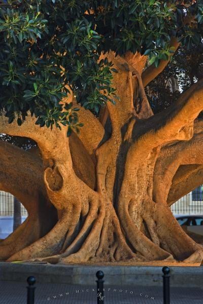Vecchio tronco di albero di ficus a Cadice City, Andalusia, Spagna.  Foto di Rolf Hicker ...