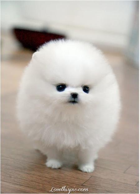 Fluffy White Pomeranian animals white dog puppy pets fluffy pom pomeranian