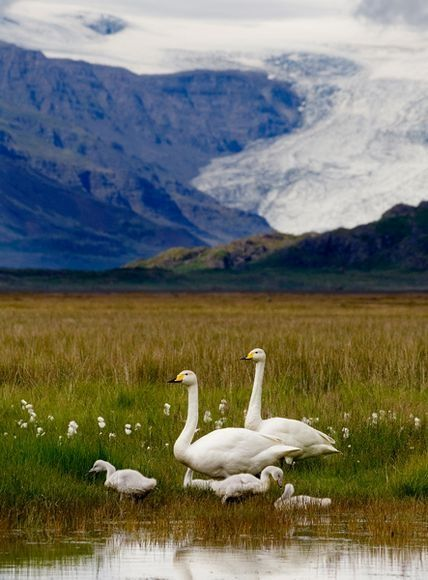 l family of whooper swans, Iceland