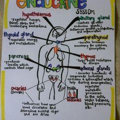 Endocrine System Diagram Stearns Brake Coil Wiring 1000 43 Images About Nursing On Pinterest Schools