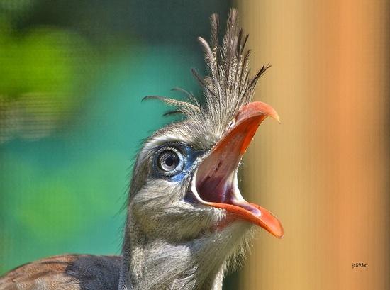Seriema Bird