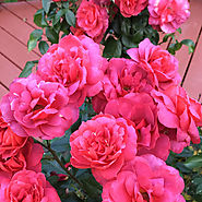 Proven Winners Oso Easy® Roses | Oso Easy® Double Red