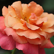 Best Roses of 2015   'Easy Does It'