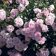 Best Roses of 2015   'Bonica'