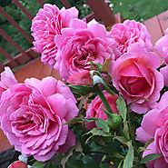 Best Roses of 2015   'Princess Alexandra of Kent'