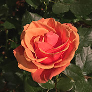 Star Roses and Plants 'Apricot Candy'