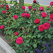 Dark Desire™ Parfuma® Grandiflora Rose