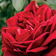 The Ten Best Roses To Order For Mom | Desmond Tutu™ Sunbelt®