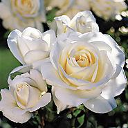 Moondance Floribunda Rose