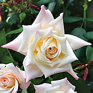 Soft Whisper Hybrid Tea Rose