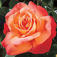 Voodoo Hybrid Tea Rose