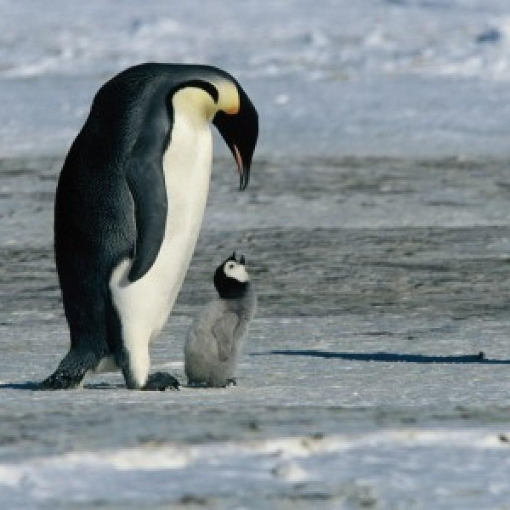 """""""Die Reise der Pinguine"""" in der SZ-Cinemathek: In der Eiswüste des Lebens"""