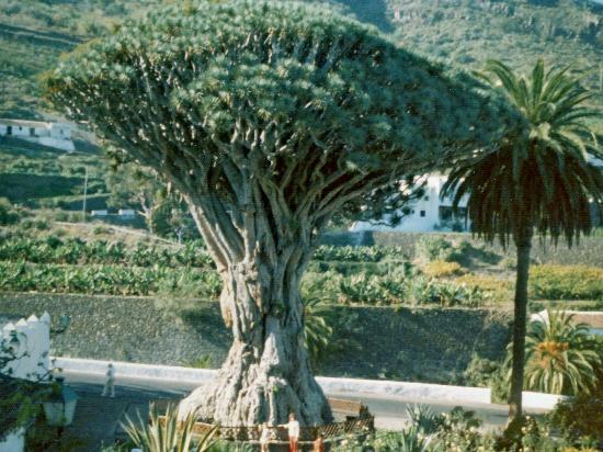 Parque del Drago  Tenerife  Opiniones de Parque del Drago  TripAdvisor