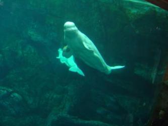 beluga whales aquarium georgia happy atlanta tripadvisor