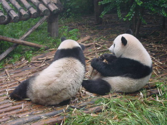 Photos of Giant Panda Breeding Research Base (Xiongmao Jidi), Chengdu