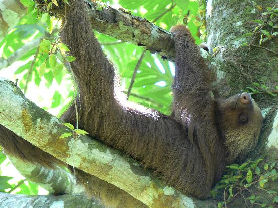 Costa Rica: Baby Sloth at Alby Lodge in Cahuita