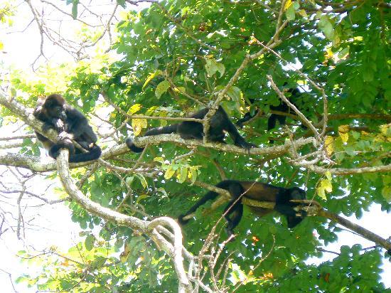 Costa Rica: Howler Monkeys in Cahuita