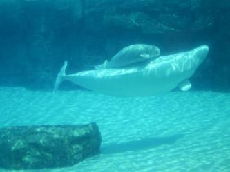 whale beluga baby marineland pirate niagara falls tripadvisor should been its rate ship mozquitoo