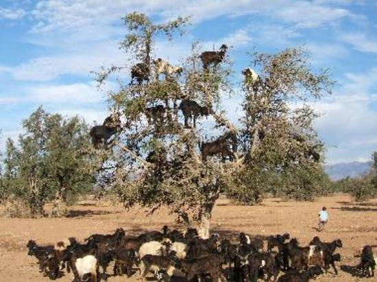 "The famous Argan ""Flying"" goats capable of climbing trees"