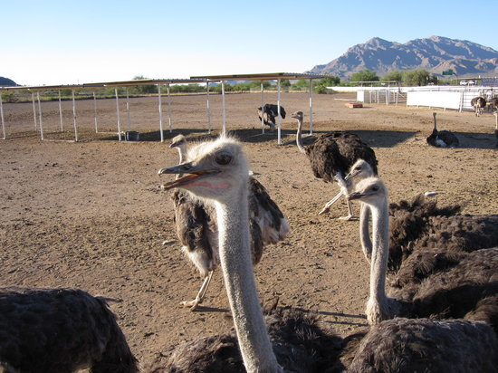 Rooster Cogburn Ostrich Ranch Picacho  2018 All You