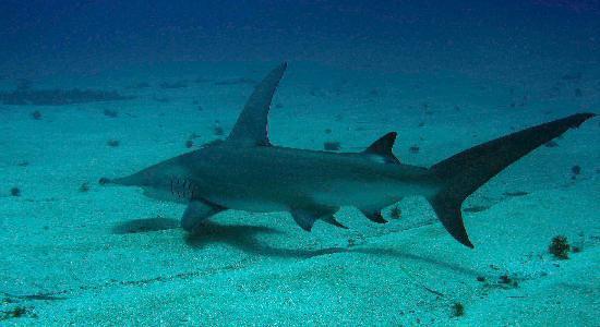 great hammerhead shark picture