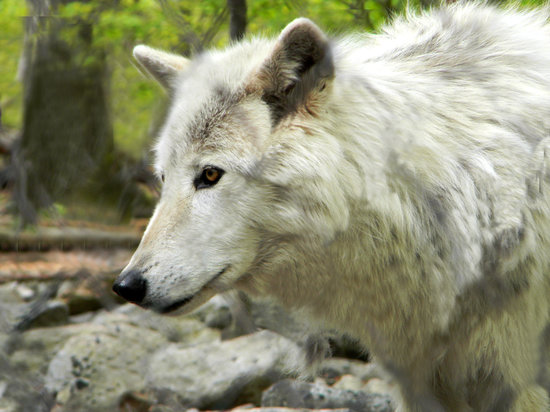 cool wolves and animals