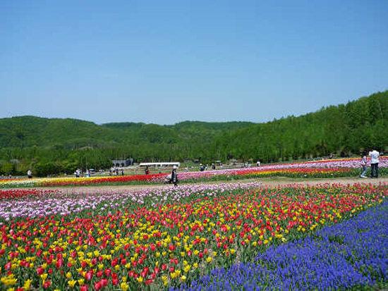Sapporo, Jepang: チューリップ畑1