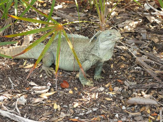 The rare iguana on Little Water Cay