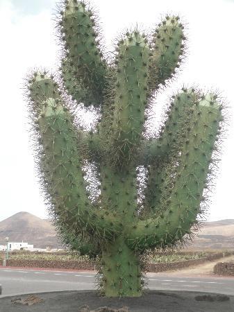 Cactus Gigante Foto Di Jardin De Cactus Guatiza