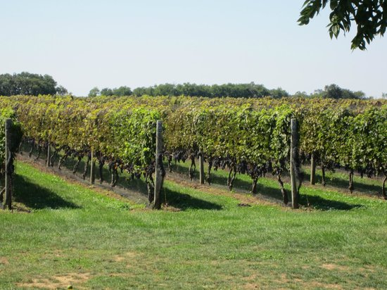 Photos of Sannino Bella Vita Vineyard, Peconic