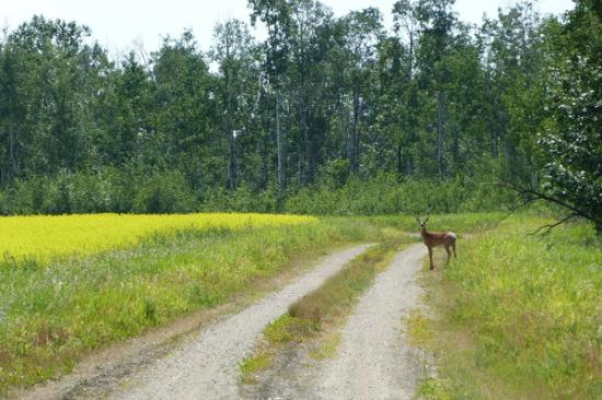 Temple Jaw Saskatchewan Gardens Moose