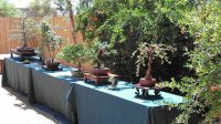Bonsai Specimens - Picture of Yume Japanese Gardens ...