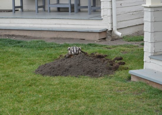 Other guest  Badger adding to front lawn of cabin