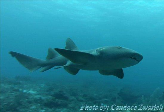 nurse shark picture of