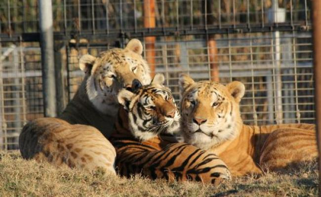 11 Week Old Liliger Picture Of Greater Wynnewood Exotic Animal Park Tripadvisor