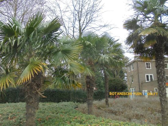 Tu Botanical Garden Tu Botanische Tuin Winterharde Trachycarpus Palmen Uit China