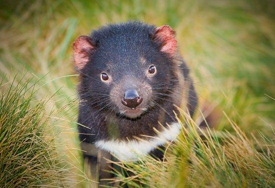croiser diables tasmanie
