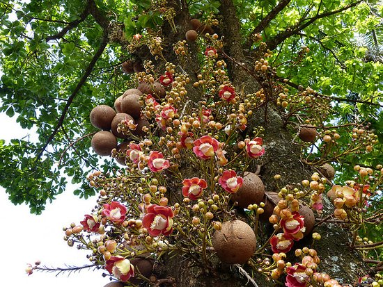 Akaka Falls Wallpaper Cannonball Tree Picture Of Hawaii Tropical Botanical