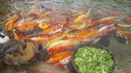koi fish feeding picture