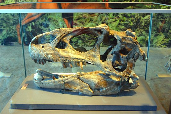 Incredible Nearly Complete Allosaurus Skull  Picture Of