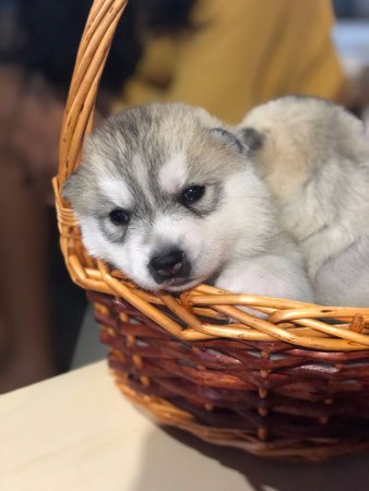 baby huskies picture of