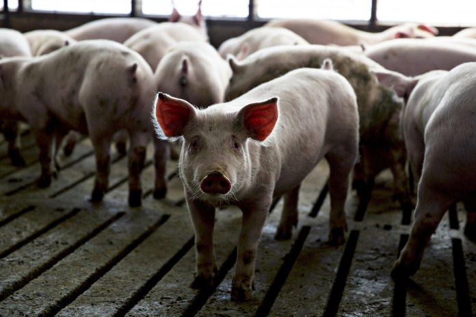 Bacon may disappear in California as pig rules take effect