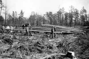 Trees like the Atlantic White Cedar were decimated in the past centuries mostly due to logging for construction.