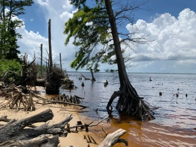 Forests are dying up and down the East Coast and along the Gulf Coast due to climate change. Researchers are studying trees like these at the Alligator River in North Carolina that are forming ghost forests.